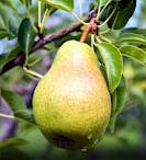 Bartlett Pear in the Tree