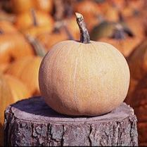 Luxery Pie Pumpkin - Locally Grown!