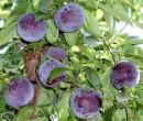 Plums on the Tree