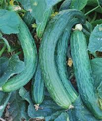 Suyo Cucumber