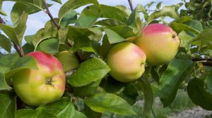 Apples on the tree in Eastern Washington.