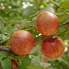 pluot tree