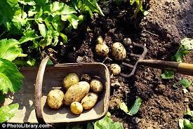 potato dig